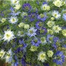 Nigella damascena blue