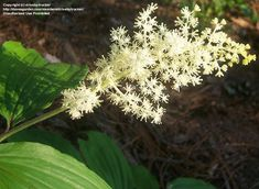 PlantFiles Pictures: False Solomon's Seal, Spikenard, Solomon's Plume, Feathery False Lily of the Valley (Maianthemum racemosum) by sanannie