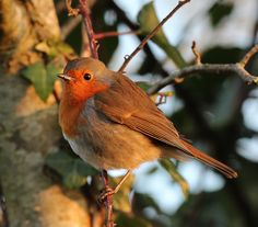 ༺♥༻Lovely picture, I'm going to use it on my Christmas Cards༺♥༻ Darling English Robin