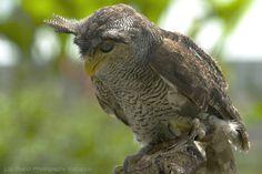 tufts, the owl .♫ bubo sumatranus - a bird from bali♫ Bali Retreat, Owl, Ubud, Dream Vacations, Beautiful Creatures, Feathers, Most Beautiful, Wings, Adventure