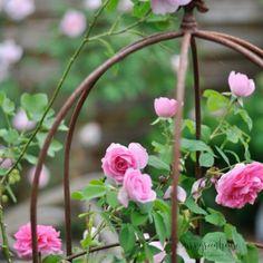 Rosen Beet, Rose Care, Heirloom Roses, Rose Trees, Purple Wine, Diy Greenhouse, Just Relax, Live Long, Cool Lighting