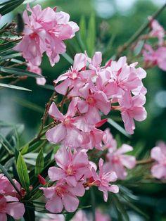 Oleander Zones 9-10