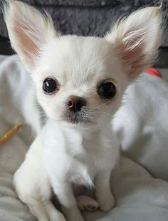 Effective Potty Training Chihuahua Consistency Is Key Ideas. Brilliant Potty Training Chihuahua Consistency Is Key Ideas. White Chihuahua, Chihuahua Love, Chihuahua Puppies, Cute Puppies, Cute Dogs, Dogs And Puppies, Doggies, Beautiful Dogs, Animals Beautiful