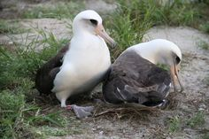 Albatross named Wisdom astounds scientists by producing chick at age 62