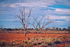 Dead trees are common in the drought-affected Channel Country region in Queensland.  #australia #outback #drought #trees