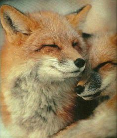 """Fox Love"""