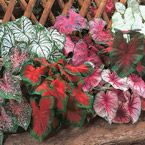 "Mixed Caladiums Continuous display of beautifully patterned, heart-shaped foliage from summer to frost. Adds lively color to shaded areas of the garden. Does not survive frost.  Product Information: Light: Shade/Partial Shade Height: 12 - 24"" Size: Dormant bulbs Zones: 9 - 10"