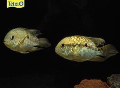 Aequidens metae – TheAequidens metae is a very easy cichlid to care for, and only grows to about 6 inches. They thrive in tanks of at least 55 gallons, with lots of driftwood or rock structures where they can hide and breed. During breeding, these fish can get quite aggressive guarding their fry.