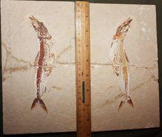 Prionolepis 17 : Matrix 22 X 12cm, Fish 20cm (double,fish in fish), price: 600$