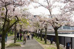https://flic.kr/p/FZ4R2d | Cherry Blossoms, Kema-Sakuranomiya-koen Park, Osaka, 2016 | 毛馬桜之宮公園