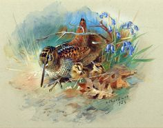 "Archibald Thorburn, Woodcock & Young, baby chicks, 20""x16"" Canvas Art"
