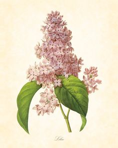 Antique French Lilac Redoute Botanical Art Print 8 x 10 Digital Collage Home Decor Home and Garden Wall Art. $10.00, via Etsy.