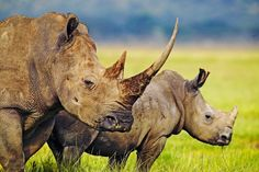 Record year for rhino poaching in Africa