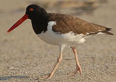 American Oystercatcher  – Ostrero Pío Americano - American Oystercatcher breeds along Atlantic and Gulf coasts and in some places in the Caribbean. It is resident on Pacific coasts, from Baja California to Central and South America. Northern populations may move southwards to winter. They migrate from Massachusetts to Virginia, southwards to south-eastern United States.