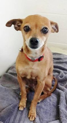 URGENT *SENIOR*  Sweet LINDA is petite and beautiful but she is also scared and unsure after being surrendered to the shelter at 10 years old. The shelter is now full and she doesn't have much time. Please keep SHARING, a FOSTER woudl save her life. Thanks!  #A4847435 My name is Linda and I'm an approx 10 year old female chihuahua sh.at the Carson Animal Care Center since June 24, 2015,Gardenia CA
