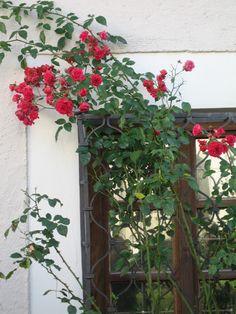 Rosas na janela.