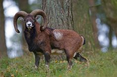 Europaeischer Mufflon, die Widder tragen grosse Schnecken (Hoerner), die Weibchen koennen ebenfalls gehoernt sein, allerdings sehr selten - (Foto Widder), Ovis orientalis musimon, Mouflon, the males are horned, some females are horned, too - (Photo ram)