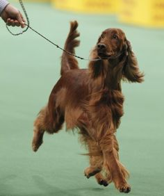 2012 Irish Setter, Caught Red Handed, was Best in Sporting Group.