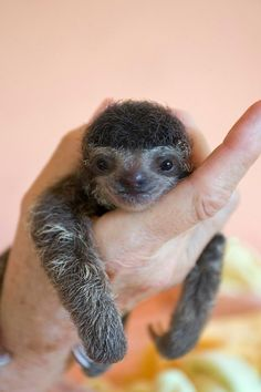 Baby Sloth: hi, my name is Maria Cristina Leticia Sussannah Ming..but you can call me Mimi!