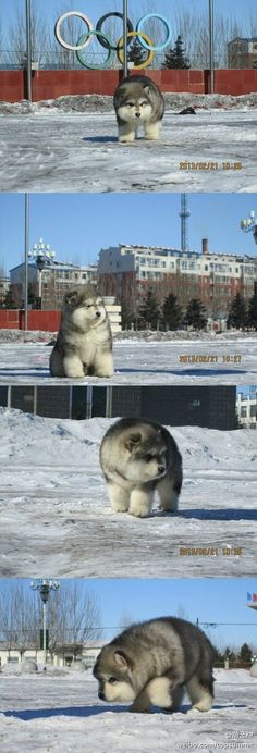 Whatever this is....I want it. Husky/polar bear?