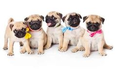 Wall Stickers Animal Wall Decals Five Puppies of Pug - 18 inches x 11 inches - Peel and Stick Removable Graphic: Ekomonika