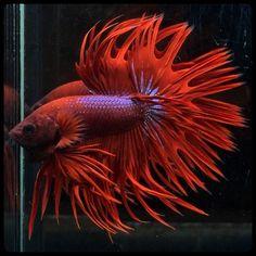 AquaBid.com -  Red berry..Crowntail (1046)
