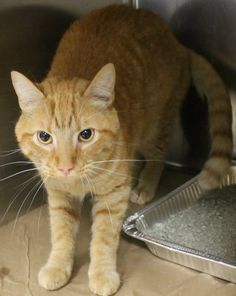 ADOPTED>Intake: 7/6 Available: 7/12 NAME: Lenny  ANIMAL ID: 28512477 BREED: DSH  SEX: Neutered Male  EST. AGE: 3 yrs  Est Weight: 9.8 lbs  Health:  Temperament: Friendly  ADDITIONAL INFO:  RESCUE PULL FEE: FREE!!