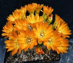 Rebutia arenacea var. kamiensis L974, Con Flores, Naranja