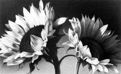 When you start with a pencil drawing, you may probably try to draw flowers. Pencil drawings of flowers are easy to draw if you are interested in drawing. Graphite Drawings, Drawing Sketches, Charcoal Drawings, Pencil Sketching, Pencil Drawings Of Flowers, Draw Flowers, Sunflower Drawing, Bristol Board, Ink Illustrations