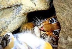 Tiger Cub Hiding, by Allan LaCroix Pet Tiger, Tiger Cub, Zoo Animals, Cute Animals, Lion Cub, All Gods Creatures, Fauna, Big Cats, Cubs