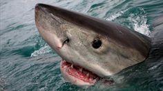 Great white shark #sharkweek | Smithsonian Ocean Portal  © Michael Rutzen