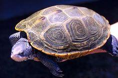 File:Diamondback_turtle_adult_female.jpg : 3.2667