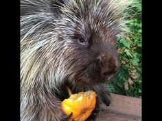 ▶ Teddy Bear, the Talking Porcupine, LOVES Pumpkin - YouTube I FELL IN LOVE..