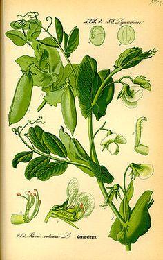 """Erbse (Pisum sativum), Illustration """"Die #Erbse (Pisum sativum), auch #Gartenerbse oder Speiseerbse genannt, ist eine Pflanzenart aus der Gattung Erbsen (Pisum) in der Unterfamilie Schmetterlingsblütler (Faboideae) innerhalb der Familie der Hülsenfrüchtler (Fabaceae, Leguminosae)."""""""
