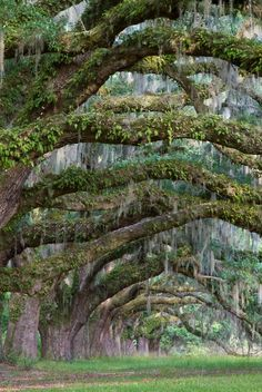 South Carolina spanish moss. Bill Swindaman, Flickr. http://www.flickr.com/photos/palmtree/4665558531/