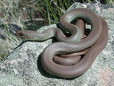 Common Name EASTERN RACER Scientific COLUBER CONSTRICTOR