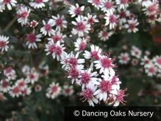 Aster lateriflorus - like a super tough easy to grow babys breath with a similar effect in bouquets or the border. Grows in sun or shade Leaf Flowers, White Flowers, Flower Pots, Poisonous Plants, Medicinal Plants, Foliage Plants, All Plants, Pink Garden, Shade Garden