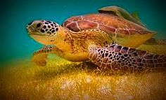 #GreenSeaTurtle #underwater #turtle #sea