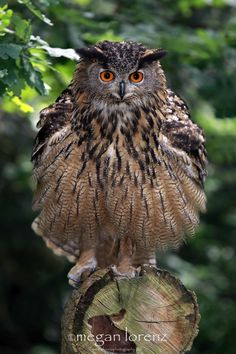 """Sigh...The Camera Adds 10 Pounds by Megan Lorenz on 500px. """"Eagle Owl, Nr Biggleswade in Bedfordshire, England"""""""