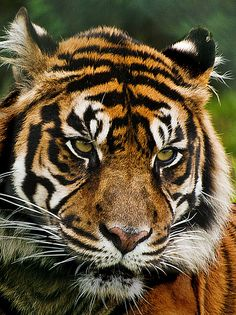 Sumatran Tiger (2)