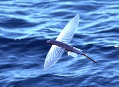 amazing flying fish . . . Coastal Blog - Beach Style, Jewelry, Beaches, Seashells, Crafts