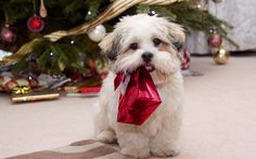 #freepetcare The Shih Tzu must be compact, solid, carrying good weight and substance.