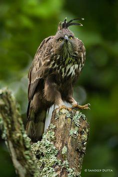 Changeable Hawk Eagle by Sandeep Dutta