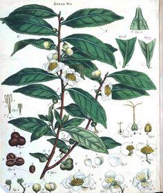 free printable posters of vintage botanical drawings