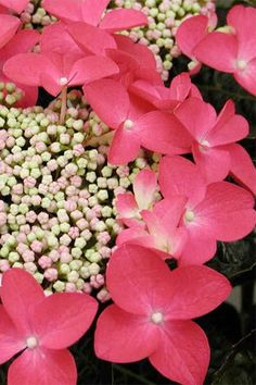 Lady in Red Hydrangea - http://www.lpstatile.com/picts/Hydrangea_lady_In_red_bloom.jpg