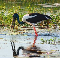 Wild Life Birds (Black Knecked Stork Yellow Waters Billabong Kakadu NP Tida Nou)