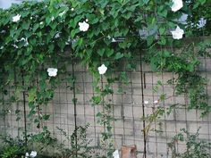 moon flowers-i grow these and they are lovely