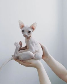 Top 10 des plus beaux chats sphynx ! - Hairless Cat - Ideas of Hairless Cat - Chat Sphynx The post Top 10 des plus beaux chats sphynx ! appeared first on Cat Gig. I Love Cats, Crazy Cats, Cute Cats, Adorable Kittens, Cute Baby Animals, Animals And Pets, Funny Animals, Anime Animals, Wild Animals