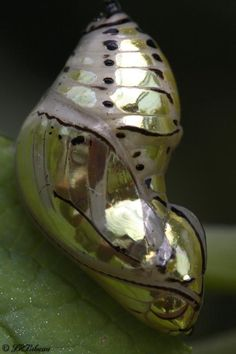 """Tithorea tarricina chrysalis..before the transformation"""