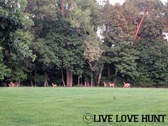 Whitetail Deer - Fawns | Close up Periscope Video (linked)